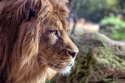 Goldeye ... Berberlöwe (Panthera leo leo) im Profil