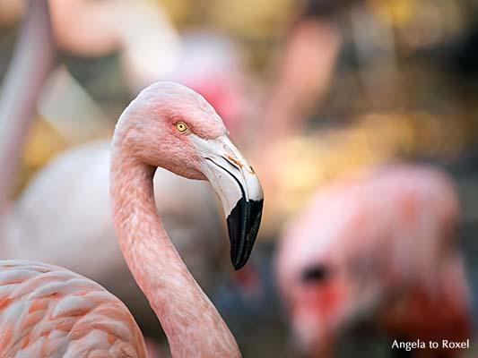 Tierbilder kaufen: Rosaflamingo (Phoenicopterus roseus) Kopf-Porträt, Kopf und Schnabel, Nahaufnahme, Vogelfotografie | Ihr Kontakt: Angela to Roxel