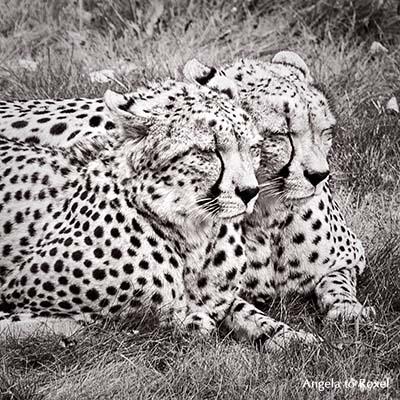 Zwei Geparden (Acinonyx jubatus) im Schlaf, Ähnlichkeit, monochrom