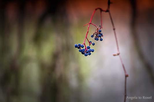 Wilder Wein, Ranke mit blauen Beeren auf einer verlassenen Terrasse, Herbst