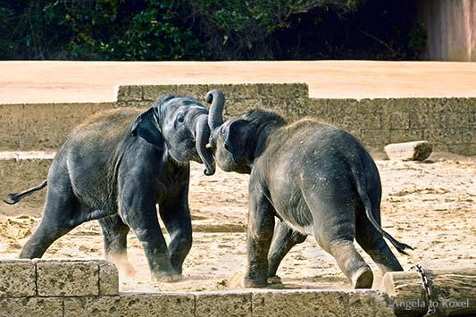 Zweijährige Elefantenkinder in Aktion