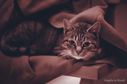 Katze (Felis silvestris catus) kuschelt sich in weichen Stoff - Kuschelzeit ... Bitte NICHT stören, sagt der Blick der Katze. Monochrome Aufnahme