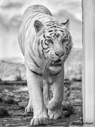 Fotografie: Struggle for pleasure, Weißer Tiger (Panthera tigris tigris), Porträt, captive - Der weiche Gang geschmeidig starker Schritte ... (Rilke)