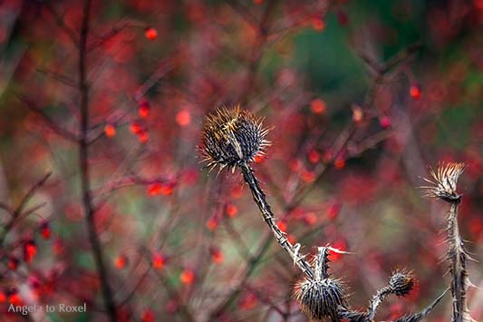 Trockene Distel vor roten Beeren, Herbst im Berggarten der Herrenhäuser Gärten