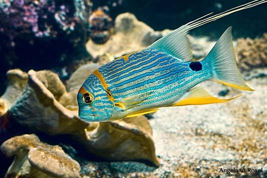 Fotografie: Aquarius, blaugelber Fisch schwimmt im Aquarium | Tierbilder kaufen - Ihr Kontakt: Angela to Roxel