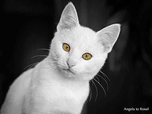 Junger weißer Kater mit grünen erstaunt blickenden Augen, Colorkey