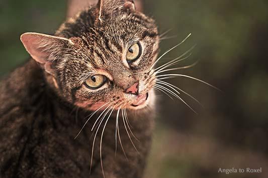 Portrait einer fauchenden Katze aus der Vogelperspektive