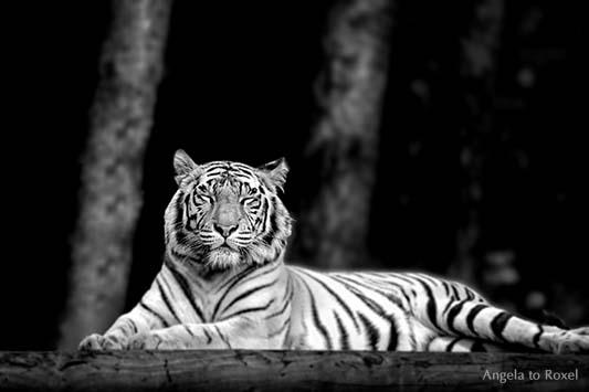 Ruhender Königstiger (Panthera tigris tigris) im Safaripark in Stukenbrock 2012, schwarz-weiß