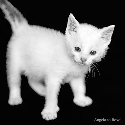 Tierbilder kaufen: Kleiner weißer Kater mit grauem Schwanz, Katzenkind, Kätzchen vor schwarzem Hintergrund, schwarzweiß - Ihr Kontakt: Angela to Roxel