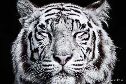 Portrait eines weißen Tigers (Panthera tigris tigris), geschlossene Augen, Zentrierung,