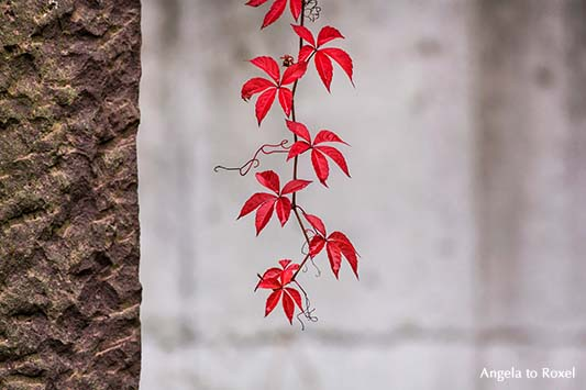 Fotografie: Vine, wilder Wein, Ranke von rotem Weinlaub auf einer verlassenen Terrasse, Detail | Fotografien kaufen - Ihr Kontakt: Angela to Roxel