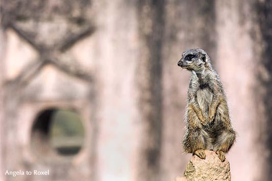 Fotografie: XO - Erdmännchen (Suricata suricatta), der Wächter hat alles im Blick | Tierbilder - Ihr Kontakt: Angela to Roxel