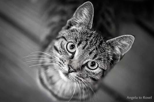 Schwarzweißporträt einer Katze, Blickkontakt, Vogelperspektive