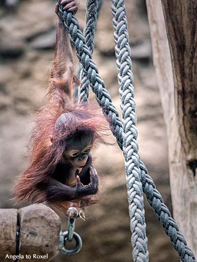 Fotografie: Orang-Utan-Kind (Pongo) begreift, Niah beim Klettern, Zusammenspiel zwischen Händen und Augen, Niah lernt, Tierbild - Zoo Münster 2013