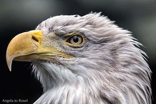 Tierbilder kaufen: Blick zurück, Weißkopfseeadler (Haliaeetus leucocephalus), Kopfporträt vor dunklem Hintergrund | Ihr Kontakt: Angela to Roxel