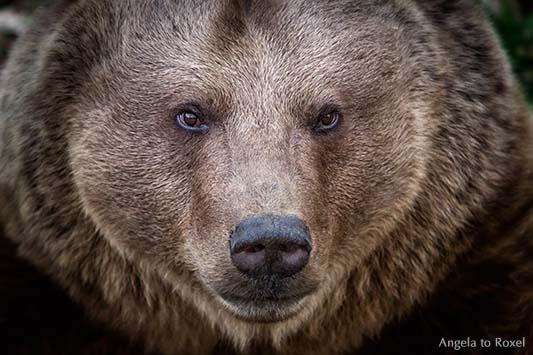 Porträt eines Braunbären (Ursus arctos) Kopfporträt, Blick, Nahaufnahme am Abend, High-ISO, Wisentgehege in Springe, Niedersachsen, März 2014