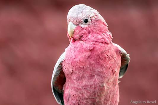 Rosakakadu (Eolophus roseicapilla), Papagei vor rosafarbener Wand, close-up |  Ihr Kontakt: Angela to Roxel