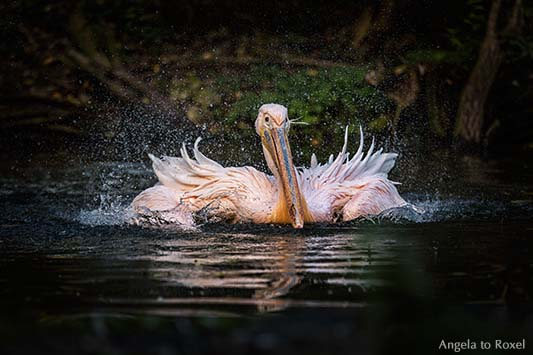 Tierbilder kaufen: splash! - Pelikan im Wasser, Rosapelikan (Pelecanus onocrotalus) beim Schwimmen, Wasser spritzt | Ihr Kontakt Angela to Roxel