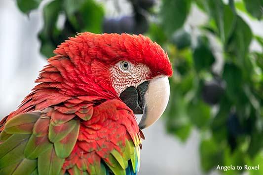 Papagei, Grünflügelara (Ara chloroptera) sitzt unter einem Pflaumenbaum, close-up, Nahaufnahme 2013 | Ihr Kontakt: Angela to Roxel