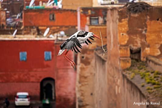 Fliegender Weißstorch (Ciconia ciconia) fliegt mit Nistmaterial im Schnabel, verfallener Königspalast El Badi in Marrakesch