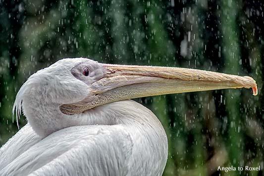 Fotografie: Pelikan, Rosapelikan (Pelecanus onocrotalus) im Regen, Sommerregen, Nahaufnahme | Tierbilder kaufen - Ihr Kontakt: Angela to Roxel