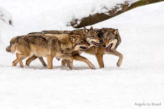 Wild im Schnee - Drei junge Wölfe (canis lupus) traben durch den Schnee. Kommunikation - Wildpark Neuhaus