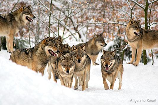 Wolfsrudel - Wölfe (canis lupus) im Schnee, zehn aufmerksame Wölfe im Wildpark Neuhaus / Solling 2012 - Tierbilder