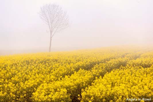 Spuren in einem Rapsfeld an einem nebligen Frühlingsmorgen, im HIntergrund ein  kahler Baum