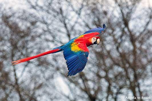 Hellroter Ara (Ara macao), fliegend, mit Blick in die Kamera