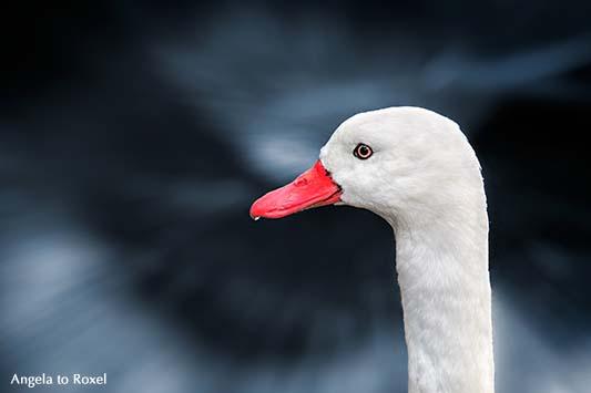 Fotografie: Coscorobaschwan (Coscoroba coscoroba) im Vogelpark Walsrode, Porträt vor cyanfarbenem Hintergrund | Tierbilder - Ihr Kontakt: A. to Roxel