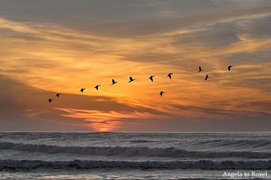 Formationsflug von zwölf Zugvögeln über dem Meer bei Sonnenuntergang