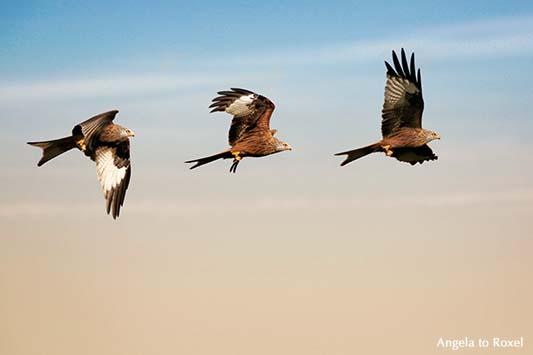 Wildlife, fliegender Rotmilan (Milvus milvus), Flugstudie, Composing, Naturpark Teutoburger Wald / Eggegebirge | Angela to Roxel