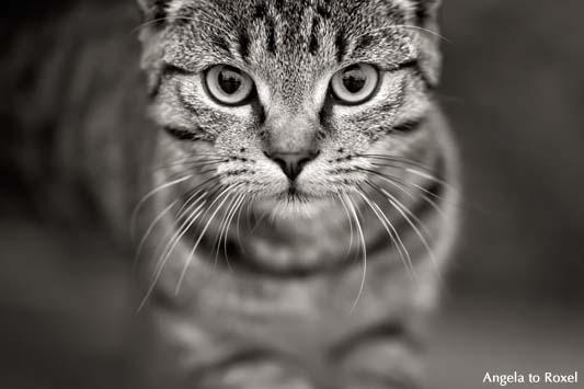 Hochspringende Katze, Augenkontakt zum Betrachter, monochrom, geringe Schärfentiefe