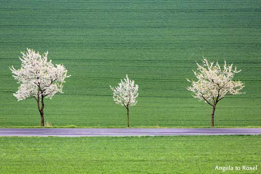 Fotografie: Drei blühende Kirschbäume am Straßenrand, Kirschblüte in der Rühler Schweiz, Rühle, Bodenwerder, Weserbergland, Niedersachsen - Bildlizenz