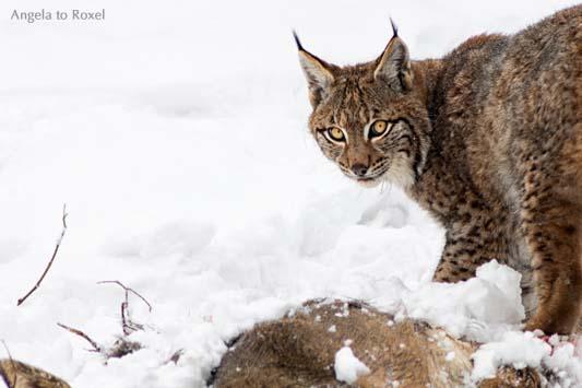 Luchs (Lynx) und Reh, Fütterungsszene im Schnee, close-up, Wildpark Neuhaus