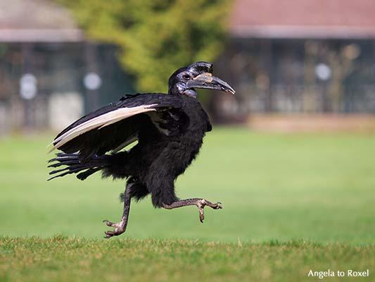 Der Nördliche Hornrabe (Bucorvus abyssinicus) Hugo, dynamisch laufend - Vogelpark Walsrode