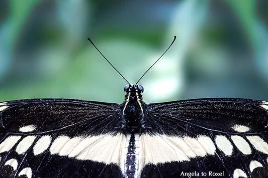 Königsschwalbenschwanz, Papilio thoas, Fühler
