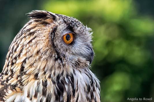 Tierbilder kaufen: Rocky, Uhu, Bengalenuhu (Bubo bengalensis) in der Adlerwarte Berlebeck, Porträt im Profil, Detmold 2013 | Ihr Kontakt: A. to Roxel
