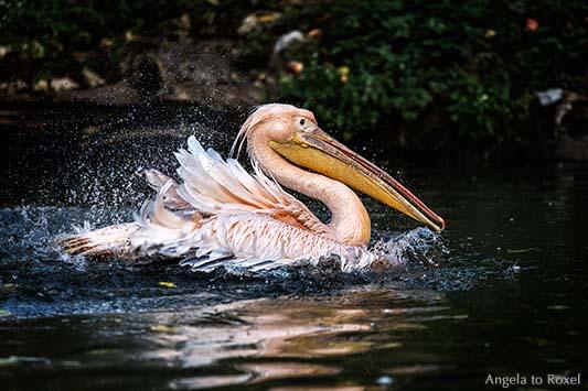 Fotografie: Schwimmender Rosapelikan (Pelecanus onocrotalus), Wasser spritzt, Porträt im Profil, Tierbild, Bildlizenz, Stockfoto