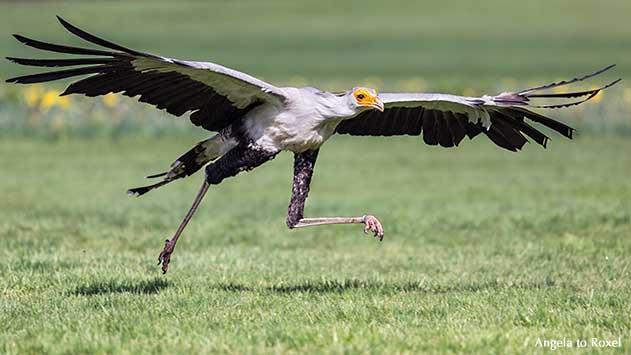 Fotografie: Runner's high, Sekretär (Sagittarius serpentarius) mit Namen Socke, Greifvogel läuft dynamisch auf einer Wiese, Vogelpark Walsrode