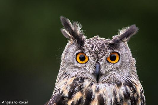 Augen, Uhu (Bubo bubo), Eule mit leuchtenden Augen, Kopfportrait mit Federohren, Falknerei im Wildpark Neuhaus 2014 | A. to Roxel