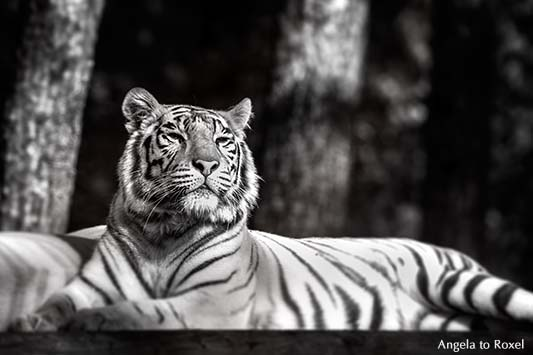 Weißer Tiger, Bengaltiger (Panthera tigris tigris) mit aufmerksamem Blick, monochrom,