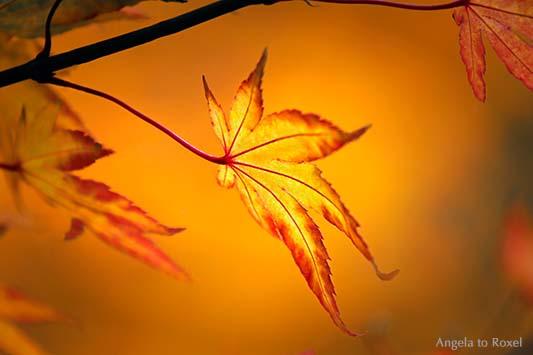 Fotografie Ahornblatt leuchtet im Herbst, Ahornbaum von der Sonne angestrahlt, Detail in der Herbstsonne, Niedersachsen - Naturfotografie, Bildlizenz