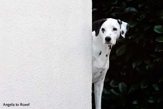 Eine Dalmatinerhündin schaut hinter einer weißen Hauswand hervor, Abschiedsstimmung am Abend