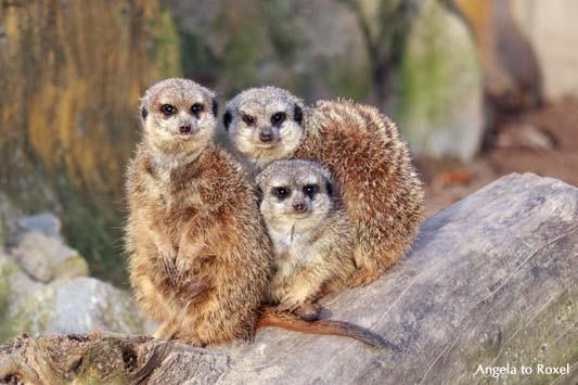 Drei Erdmännchen (Suricata suricatta) sitzen eng beienander auf einem Baumstumpf, Blickkontakt zum Betrachter