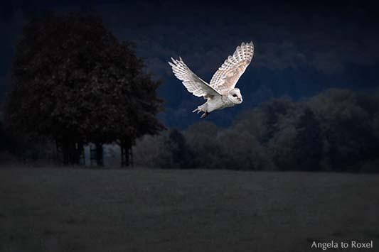 Schleiereule (Tyto alba) fliegt in der Dunkelheit