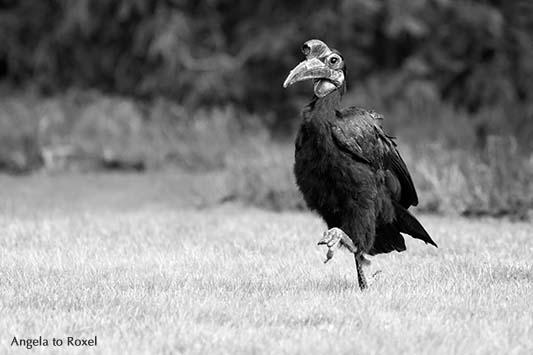 Fotografie: Hugo, Monsieur Hugo, Hornrabe (Bucorvus abyssinicus) gehend im Vogelpark Walsrode, schwarzweiß, März 2014 | Tierbilder - Angela to Roxel