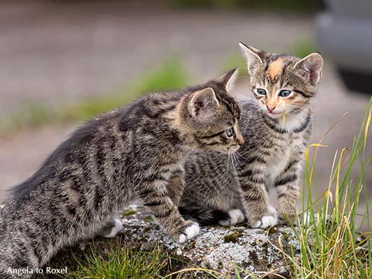 Tierbilder kaufen: Action! Zwei unternehmungslustige Katzenkinder beim Spielen im Hof, Kommunikation, Bredenborn 2014 | Ihr Kontakt: Angela to Roxel
