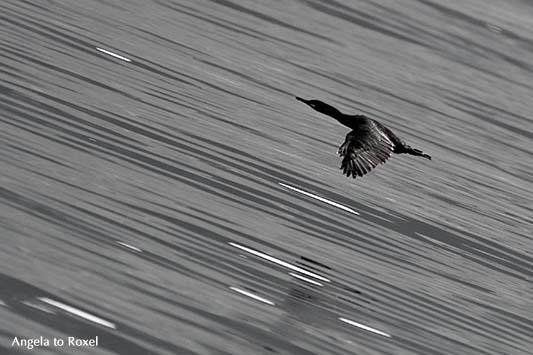 Kormoran (Phalacrocorax carbo) fliegt tief über dem Wasser, Mitzieher auf der Vogelinsel Bleik, monochrom, Andøya, Vesterålen - Norwegen 2014
