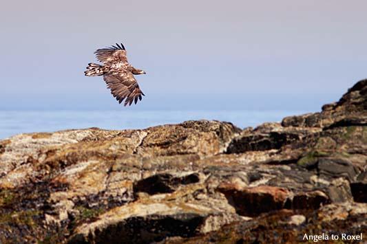 Seeadler (Haliaeetus albicilla) im Flug, über den Felsen der Vogelinsel Bleik, Vesterålen